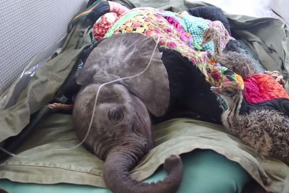 Pogledajte dramatično spasavanje slončeta i njegovih drugara iz divljine (VIDEO)