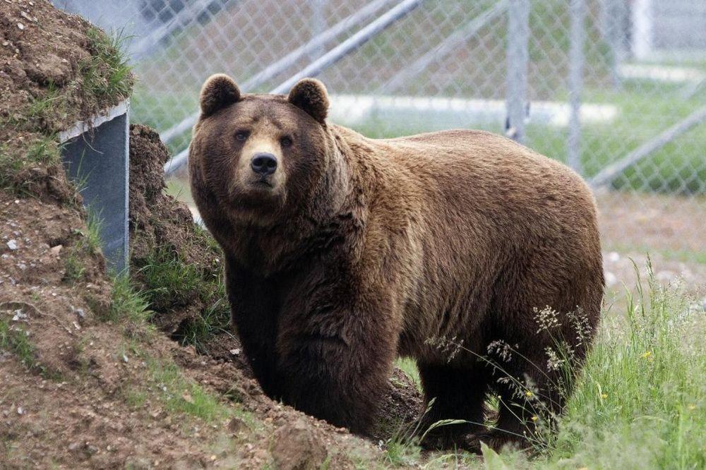 OČI U OČI SA ZVERI: Sarajlije od medveda pobegli na krov kafane!