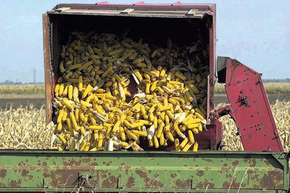 Rod kukuruza rekordan i bez aflatoksina