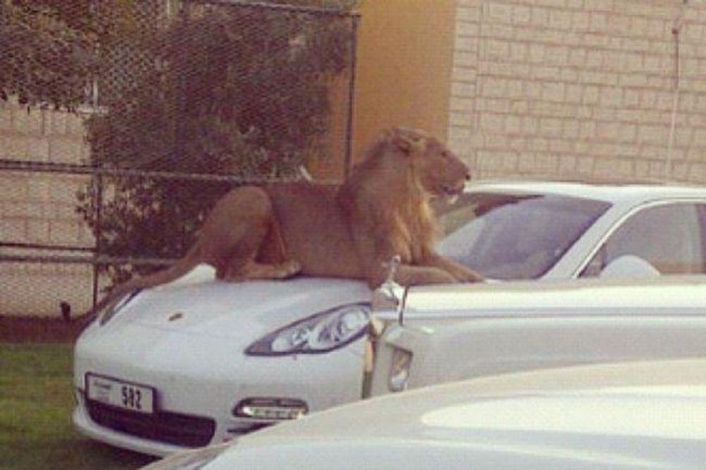 (FOTO) SAMO U DUBAIJU: Bankomati od zlata, policijski lamborgini i lav kao kućni ljubimac!