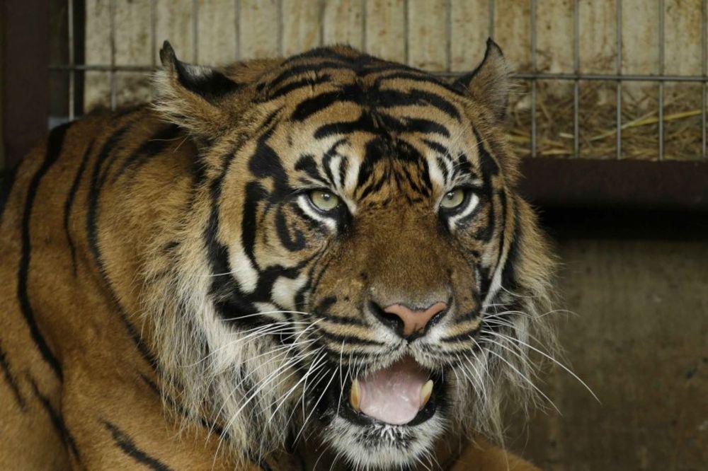 PANIKA U PARIZU: Tigar tumara gradom, policija traga za njim!