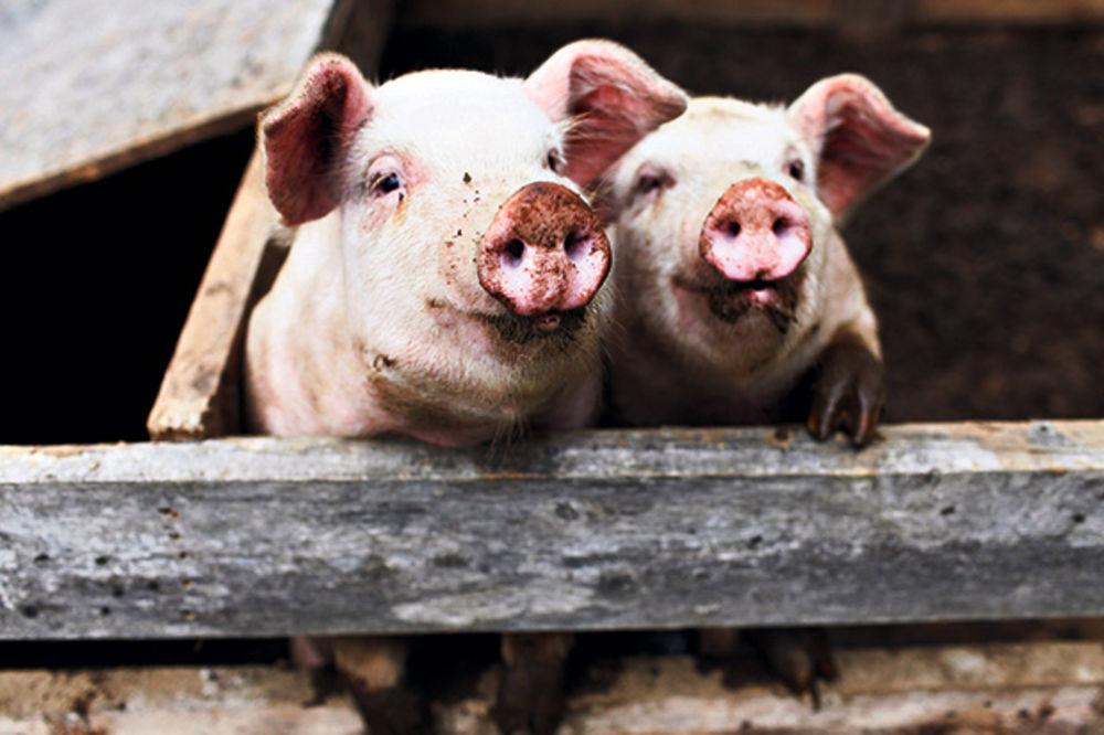 KRALJ MESA ULAŽE U SRBIJU: Nemac otvara najveću farmu svinja na Balkanu!