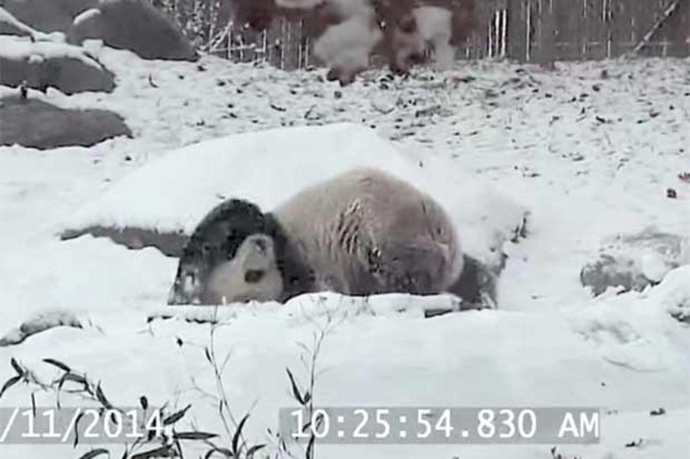 (VIDEO) MEDENJAK TUFNASTI: Joj, kako se on raduje ranom snegu! I valjda je jedini...