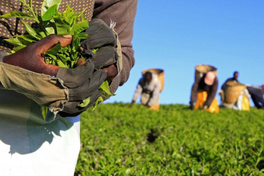 INDIJA: Radnici ubili vlasnika plantaže čaja zbog neisplaćenih plata