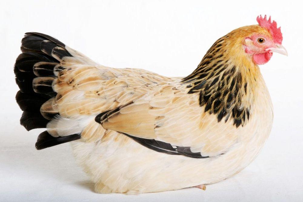 MAE JE NAJLEPŠA KOKA: Kini izabrala mis kokoški, a ona zaplesala!