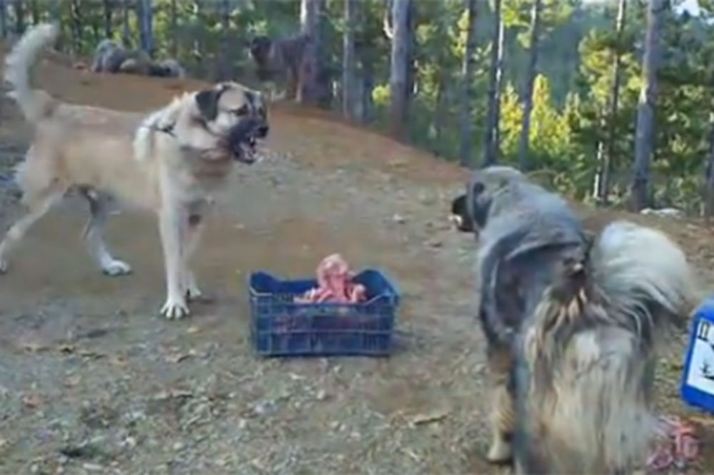 MASOVNA TUČA KOD DRAGAŠA: Petoro povređeno posle borbi pasa