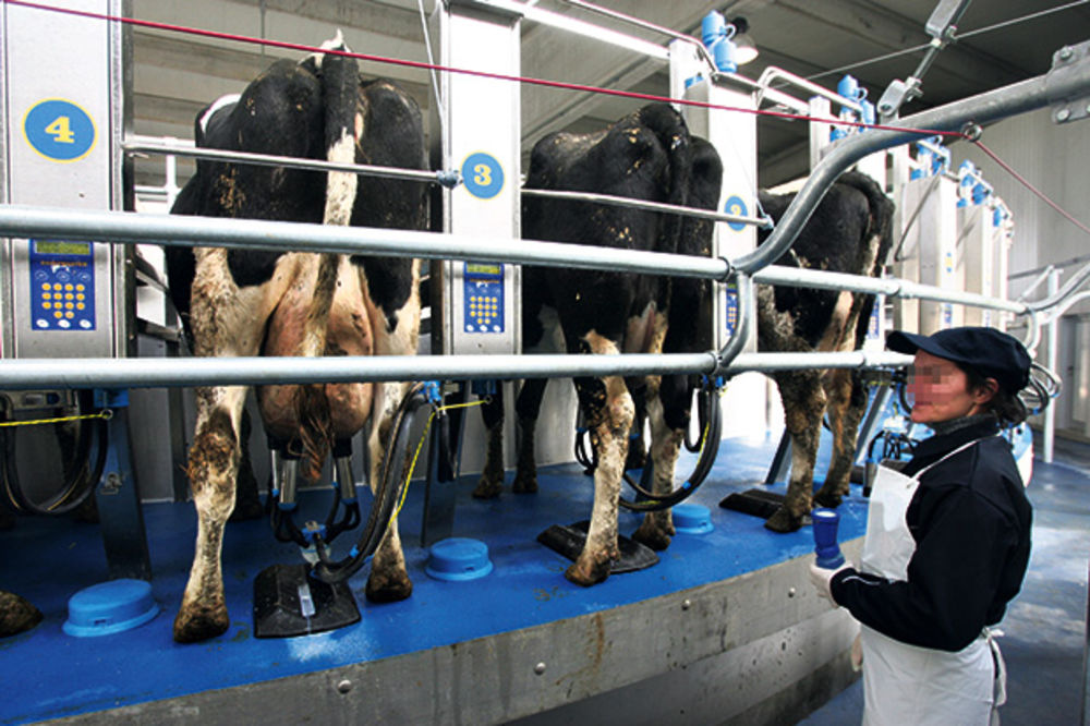REVOLT MLEKARA: Menjajte mere ili će Srbija uvoziti mleko
