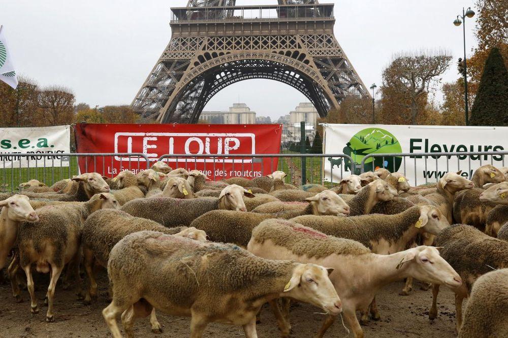 BUNT FRANCUSKIH SELJAKA: Doveli ovce pred Ajfelof toranj da protestuju zbog vukova