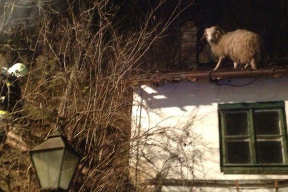 NIKO NE ZNA KAKO SE POPELA: Vatrogasci jedva skinuli ovcu sa krova!