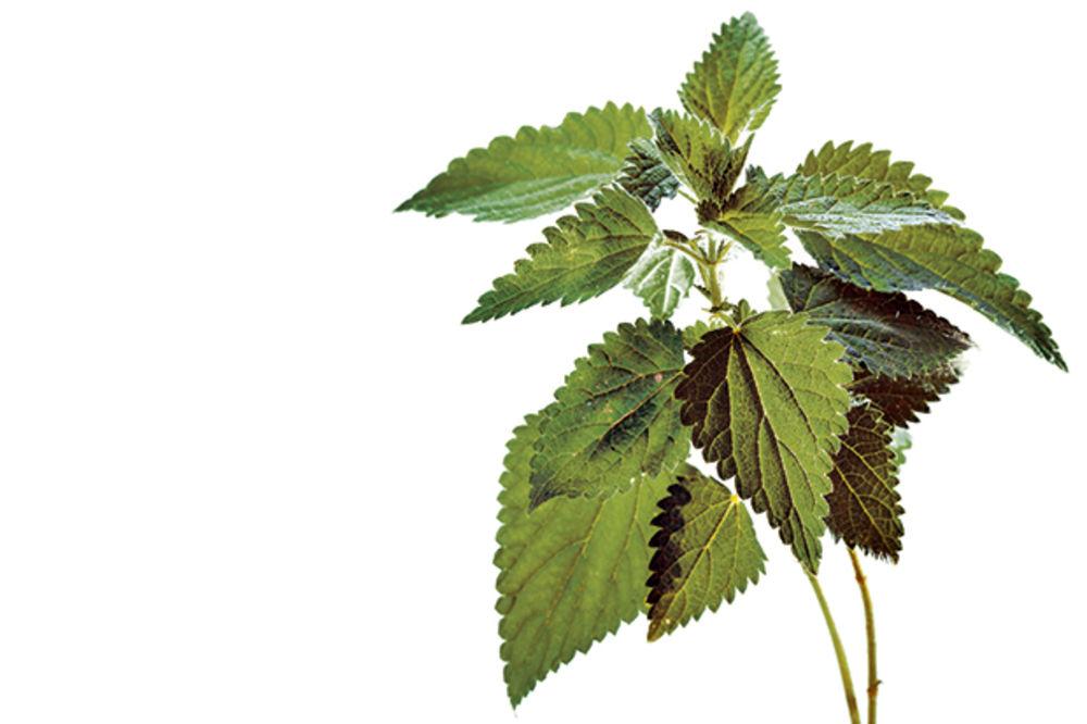 Kopriva leči anemiju, nesanicu i nervozu