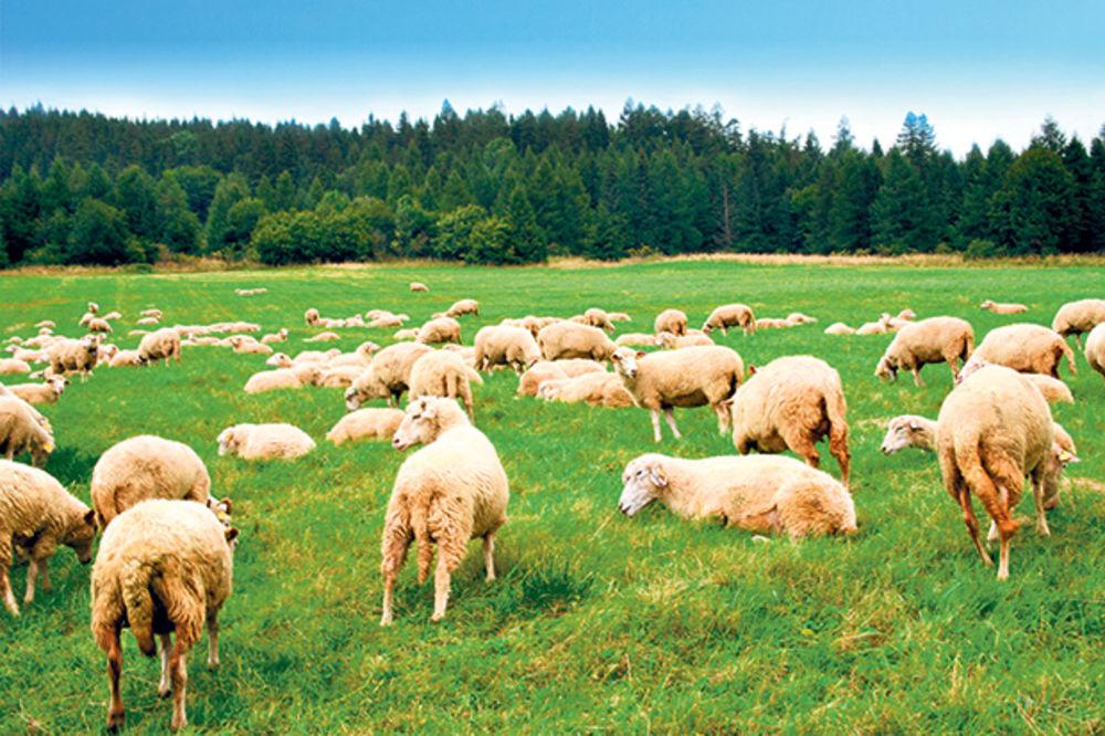 ovca-ovce-stado-coban-pastir-foto-shutte