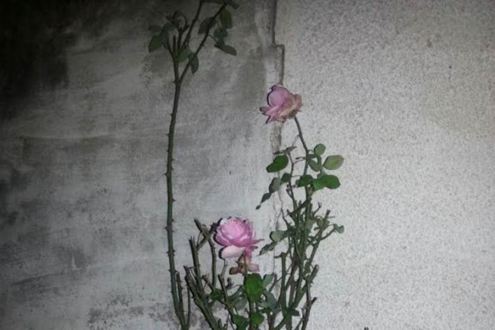 (FOTO) VEROVALI ILI NE: Na Vračaru ruže procvetale u decembru