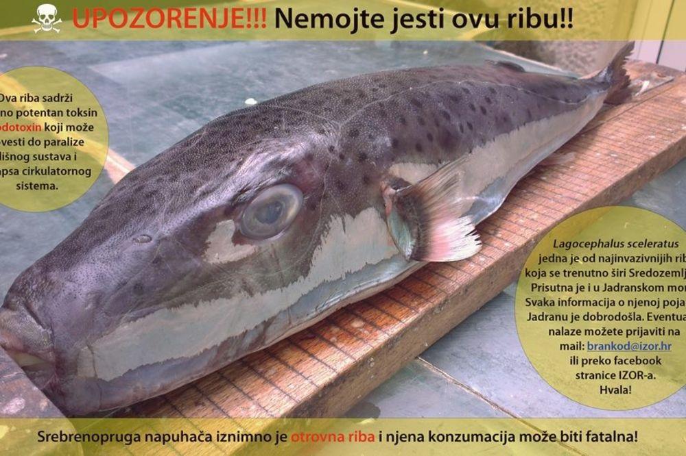 STIGLA U JADRANSKO MORE: Oprez! Možete umreti ako pojedete ovu ribu!
