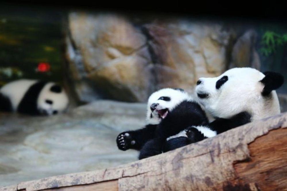 (VIDEO) Kako je izgledao susret porodice pandi nakon pet meseci razdvojenosti