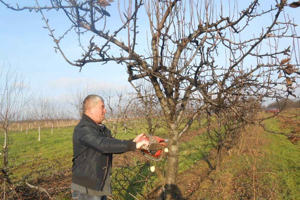 SRPSKA BRUKA: Posekao 1.000 stabala krušaka jer nema kome da ih proda!