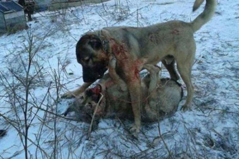 (UZNEMIRUJUĆI SNIMAK) UŽAS U ORAHOVCU: Snimili kako pas ubija vuka