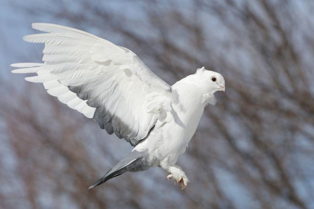 POLICIJA UHAPSILA GOLUBA: Ptica se nalazi u ćeliji sa klimom i ne sme da prima posete!