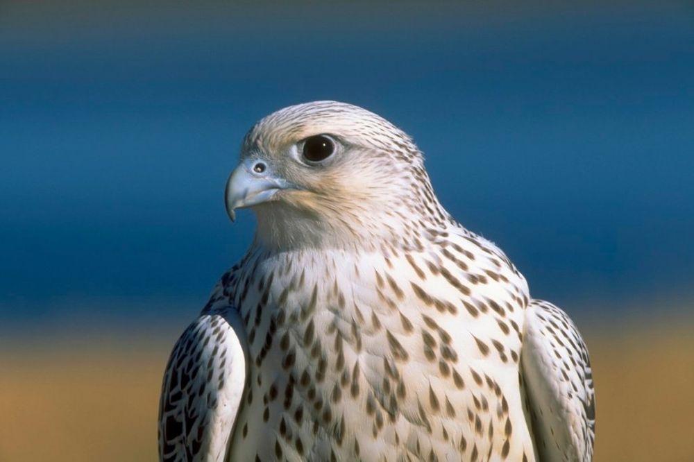 VREDE KAO RONALDO I MESI: Ovu pticu plaćaju suvim zlatom!