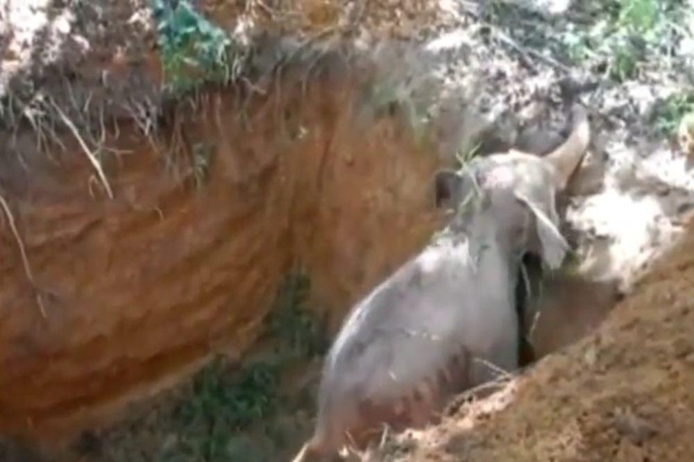 (FOTO, VIDEO) Beba slon očajnički pokušavao da izađe iz jame, ali mu je bila potrebna pomoć...