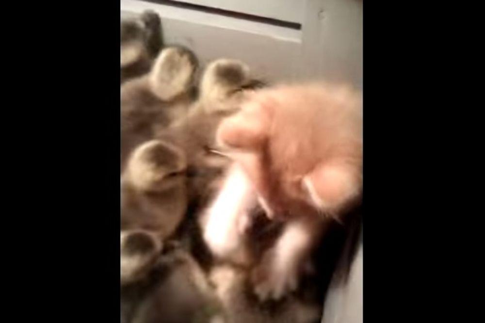 (VIDEO) NIJE MOGLA DA SE ODBRANI: Pogledajte kako su pačići napali macu