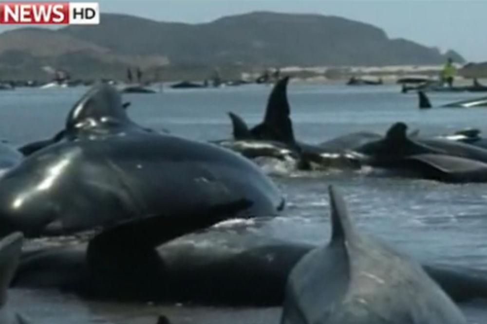 (VIDEO I FOTO) AGONIJA KRALJEVA OKEANA: 200 kitova nasukano na plaži, 24 već umrlo!