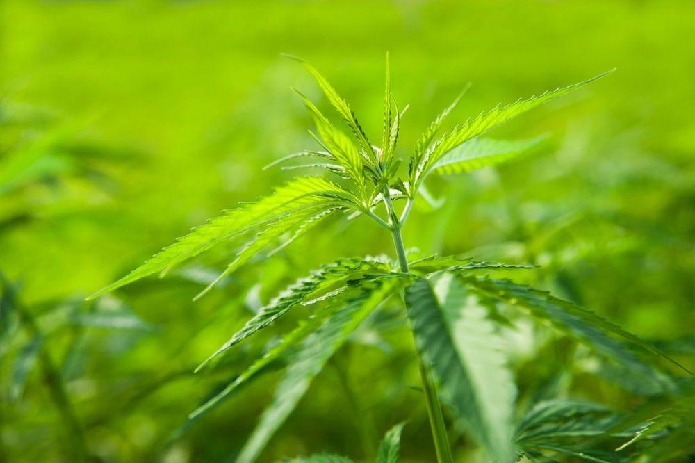HAPŠENJE U NOVOM PAZARU: Osumnjičeni za prodaju marihuane