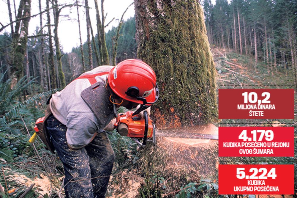 KRAĐA ZA GINISA: Otkaz šumaru zbog 11.224 posečena stabla!