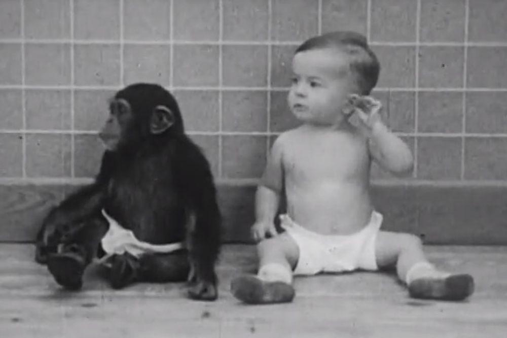 (VIDEO) EKSPERIMENT: Beba i šimpanza su odrasli zajedno, a ovo su rezultati...