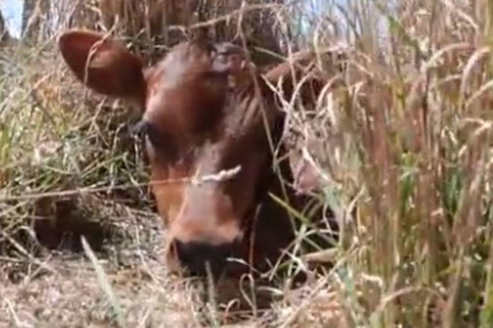 (VIDEO) DA TI SRCE PREPUKNE: Krava sakrila tele da ga farmer ne pronađe! Evo šta se posle dogodilo