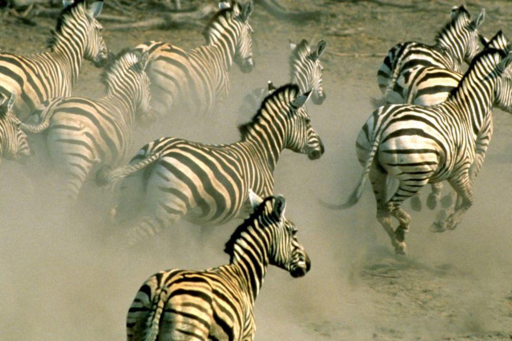 BIZARNA SMRT: Zebra silovala i ubila navijača Njukasla jer je nosio crno-bele pruge