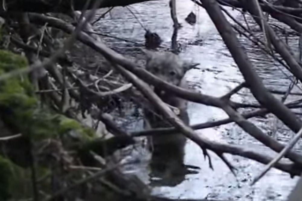 (VIDEO) Pronašli su vuka zarobljenog u ledenoj reci, a ono šta se desilo je neverovatno
