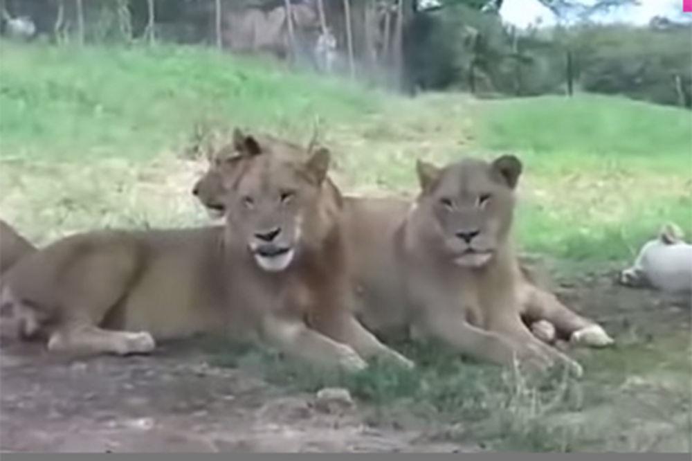 (VIDEO) DOBRA MACO, DRAGA MACO: Devojka prišla lavicama, a onda je jedna ustala...