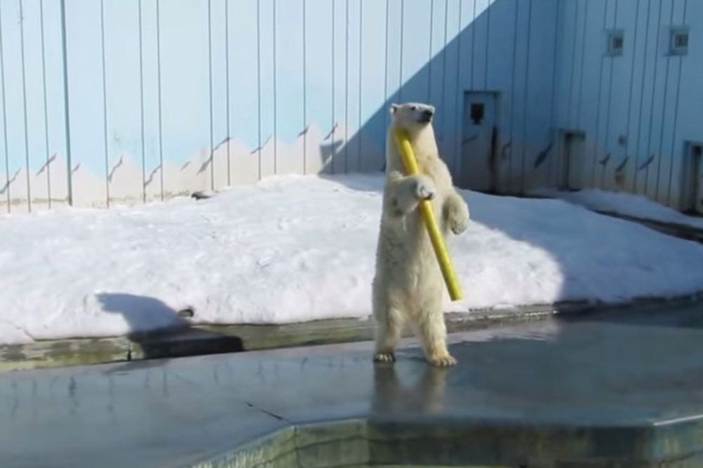 (VIDEO) NE OBRAĆAJTE PAŽNJU NA NJEGA: Ovaj polarni medved ima samo najbolji dan ikada!