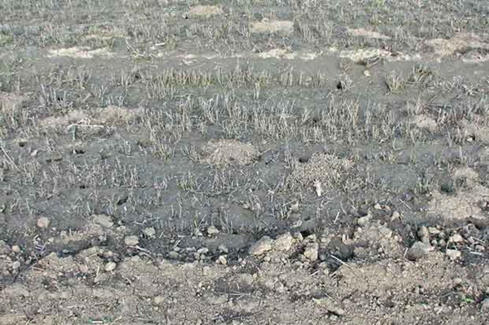 Glodari – opasnost po poljoprivredne useve