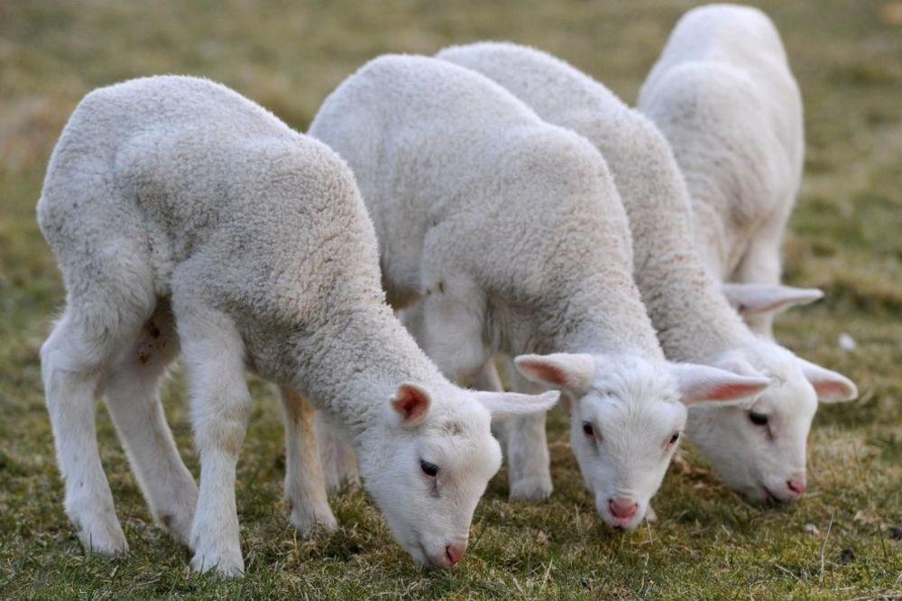NEZABELEŽEN FENOMEN: Ovca iz Koštunića ojagnjila 3 jagnjeta za 42 dana!