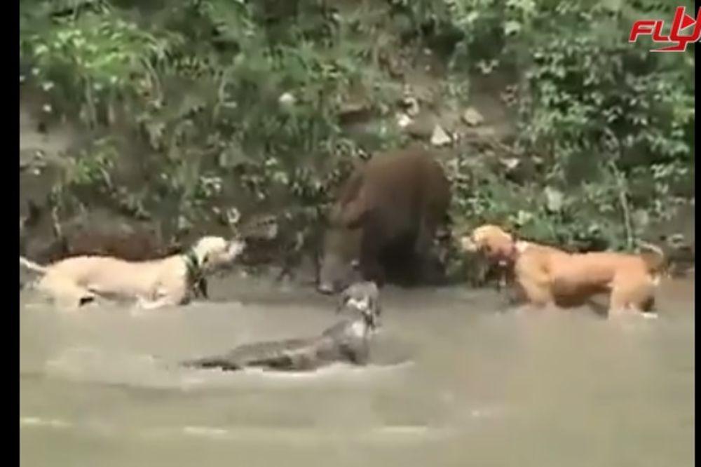 (VIDEO) NEUSTRAŠIV I OPASAN: 3 psa ne mogu da savladaju divlju svinju, pit bul je ubio u 1 sekundi