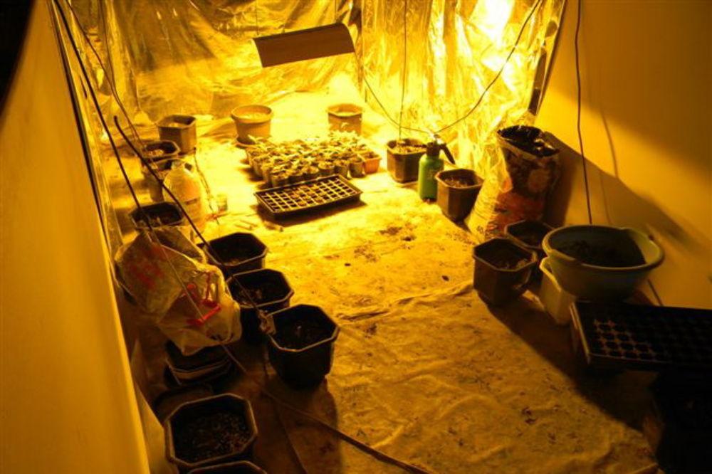 (FOTO) APATIN: Otkrivena laboratorija za marihuanu