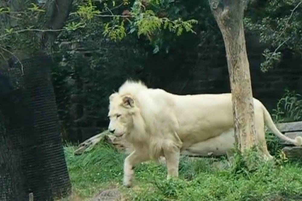 (VIDEO) FENOMEN: Otkud ovim lavicama griva?!
