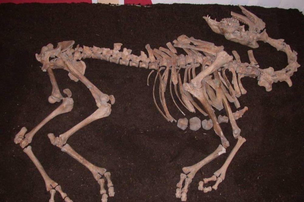 DOŠLE S OSMANLIJAMA: Skelet kamile iz 17. veka nađen u blizini Beča!