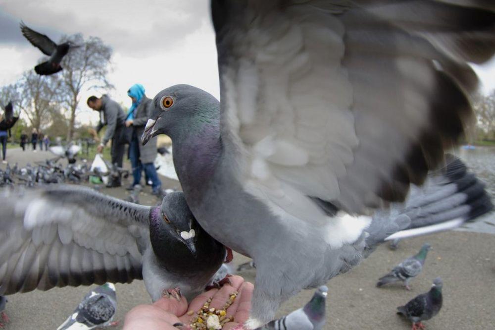 GOLUB KAMIKAZA NA SMRTONOSNOJ MISIJI: Poslao pticu da ubije najvećeg neprijatelja... Strašno!