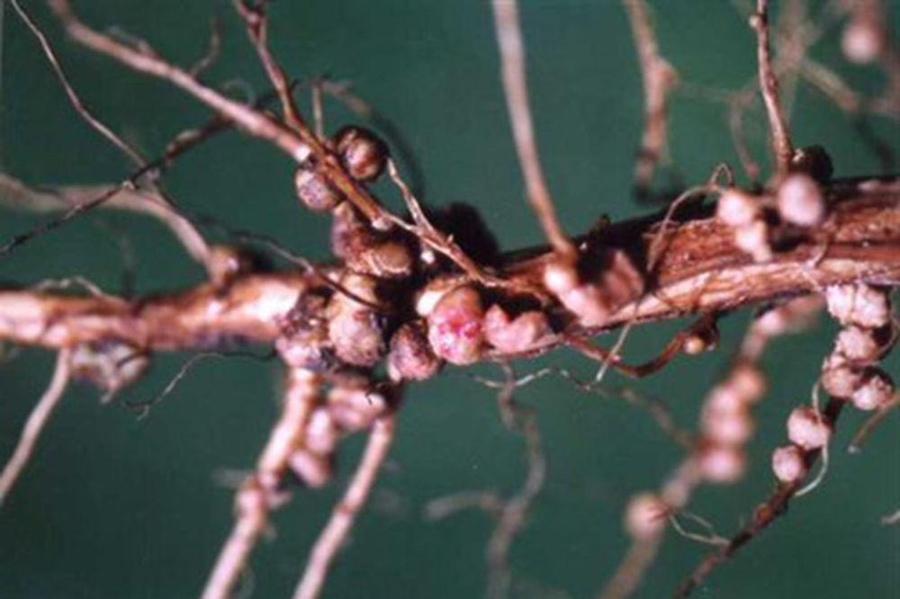 Mogućnost primene NS-NITRAGINA u proizvodnji povrća na okućnicama