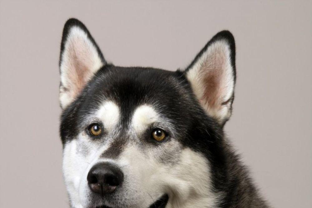 UHVAĆEN U SEKSU SA HASKIJEM: Bio je na podu spuštenih gaća i to na sve 4 noge, a pas ga je jahao