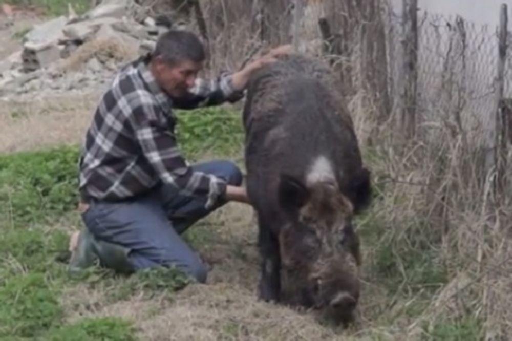 (VIDEO) KUĆNI LJUBIMAC OD 200 KILA: Bobanov vepar Gile jede čokoladu, smoki i obožava decu!