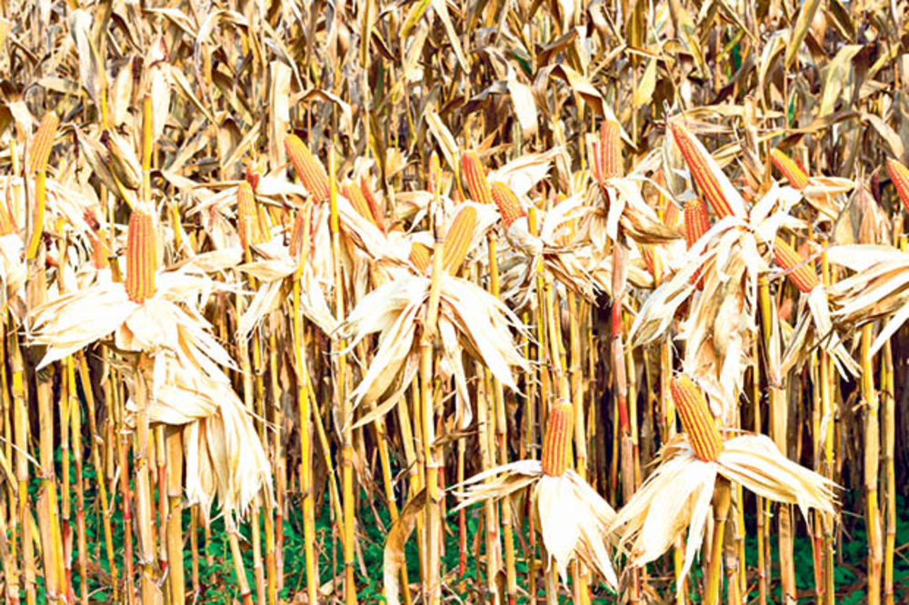 PRIVREDNA KOMORA: Suša opustošila njive, rod kukuruza i soje prepolovljen