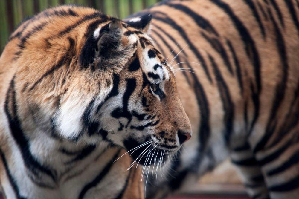 KO SE USUDIO: Ubili jednog Putinovog tigrića