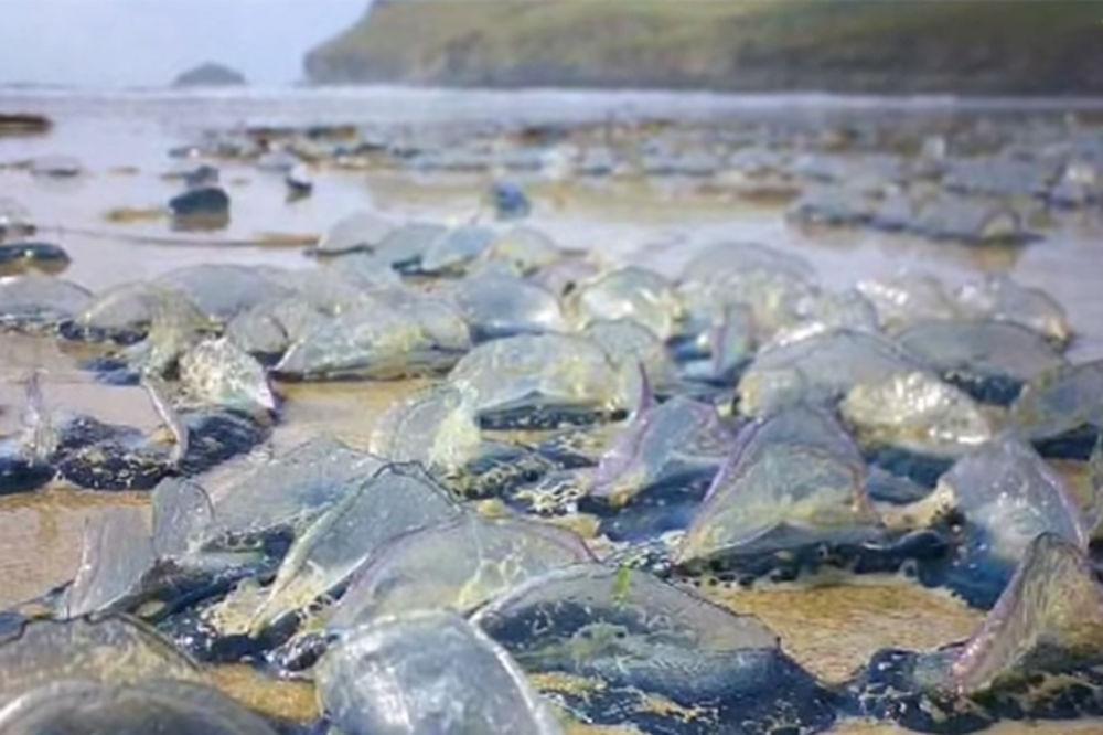 (VIDEO) INVAZIJA: Milijarde plavih morskih stvorenja na obalama Amerike