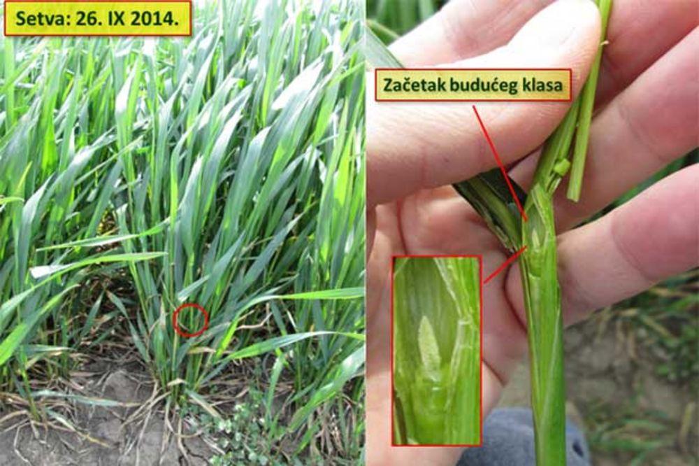 Vlatanje: kritična faza u razvoju strnih žita