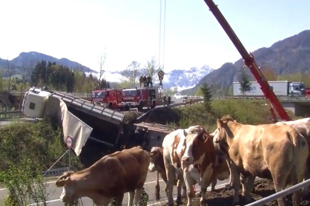 (VIDEO) HAOS NA PUTU: Prevrnuo se kamion za prevoz stoke, sedam bikova stradalo