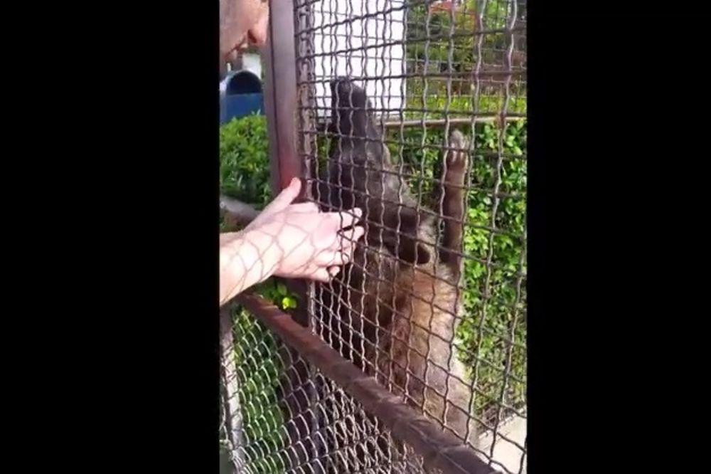 (VIDEO) OPASNO ILI LEPO? Kako se mazi vučica iz beogradskog zoološkog vrta sa posetiocima