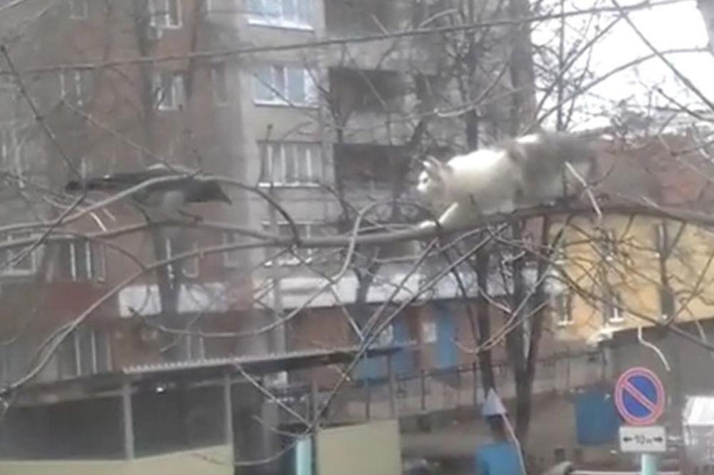 (VIDEO) URNEBESNO: Kako je vrana osramotila mačku